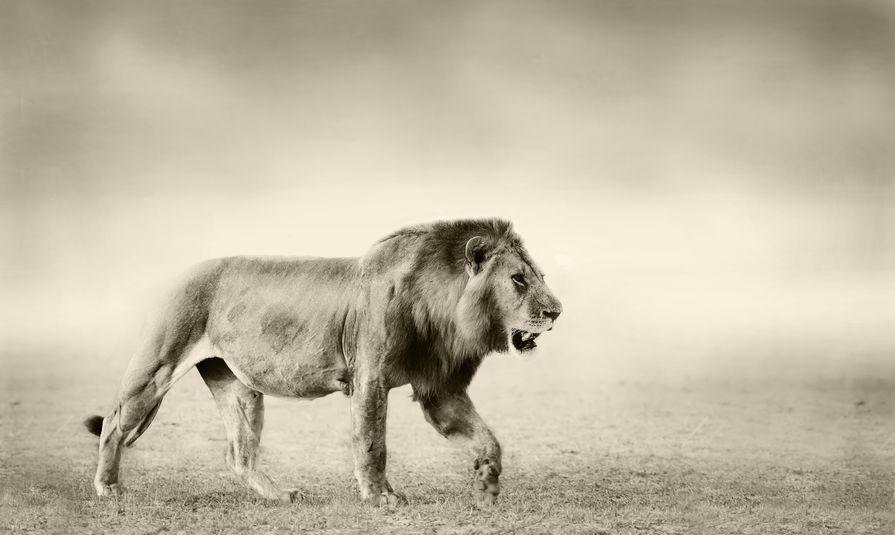 群れの新ボスライオンは、前ボスのオスの子どもを全滅させるというトリビア