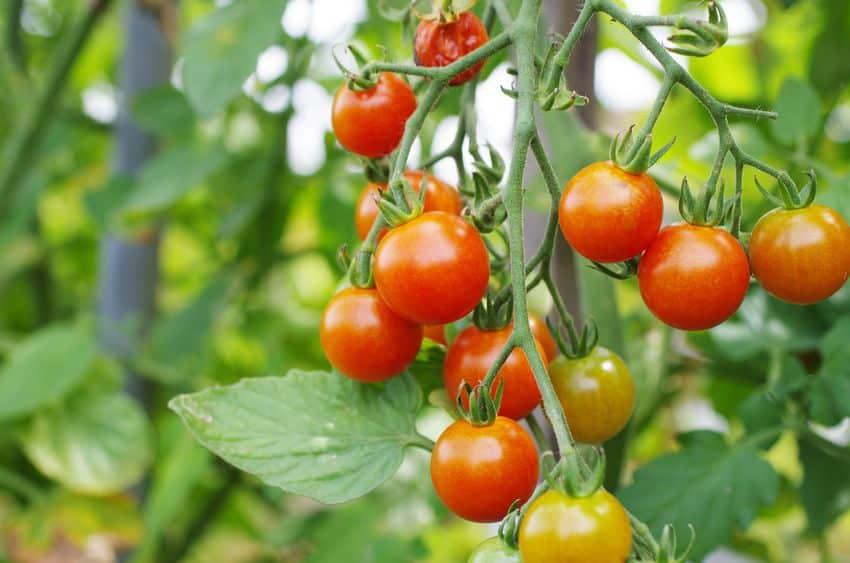 実はアメリカ生まれ!わざわざ機内食用に開発されたミニトマトについてのトリビア