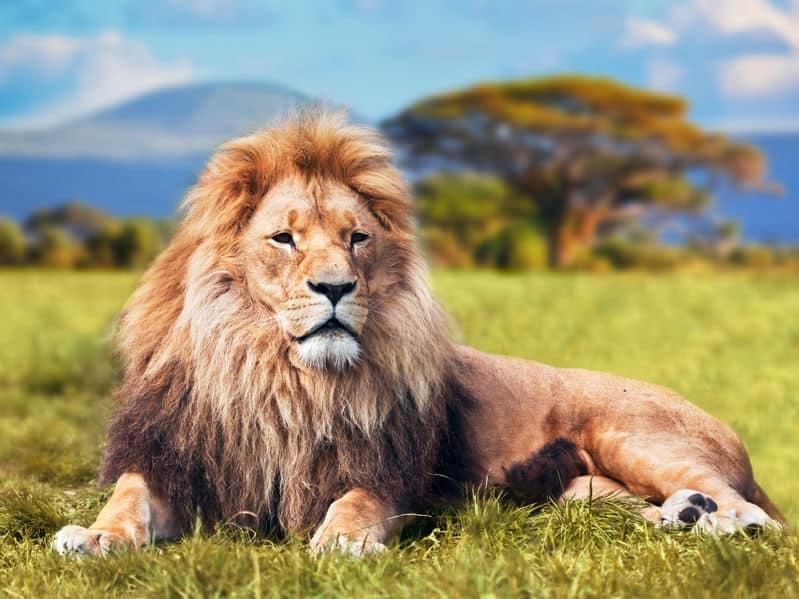 百獣の王はヒモ男。オスライオンは狩りをせず子作りをするのみ…についての雑学まとめ
