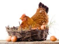 ニワトリが卵を産むのは午前中という雑学