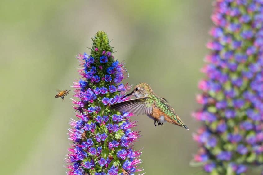 マメハチドリが「ハチドリ」と呼ばれる由来についての雑学