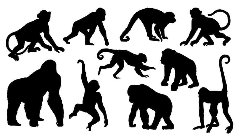チンパンジーの握力はすごいが、ゴリラの握力はもっとすごいという雑学