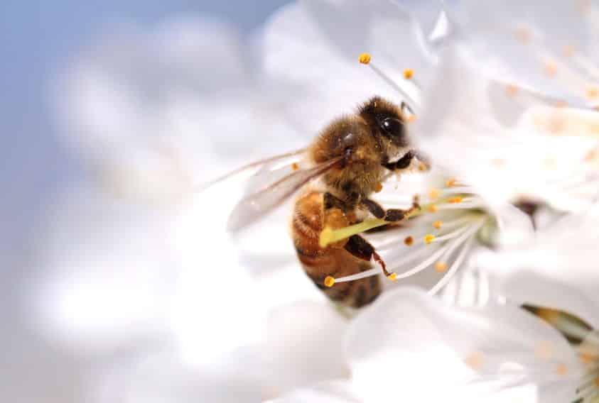 ミツバチの体の中には蜜を入れるための器官があるというトリビア