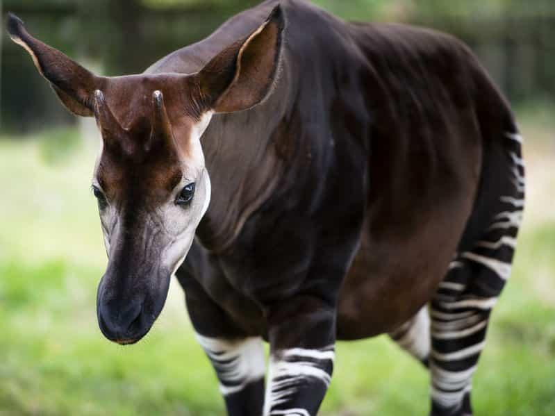 キリンの角の用途はよくわかっていないというトリビア