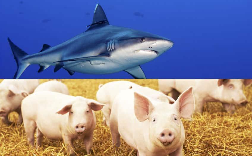 サメに殺される確率より、「豚」に殺される確率の方が6倍高いという雑学