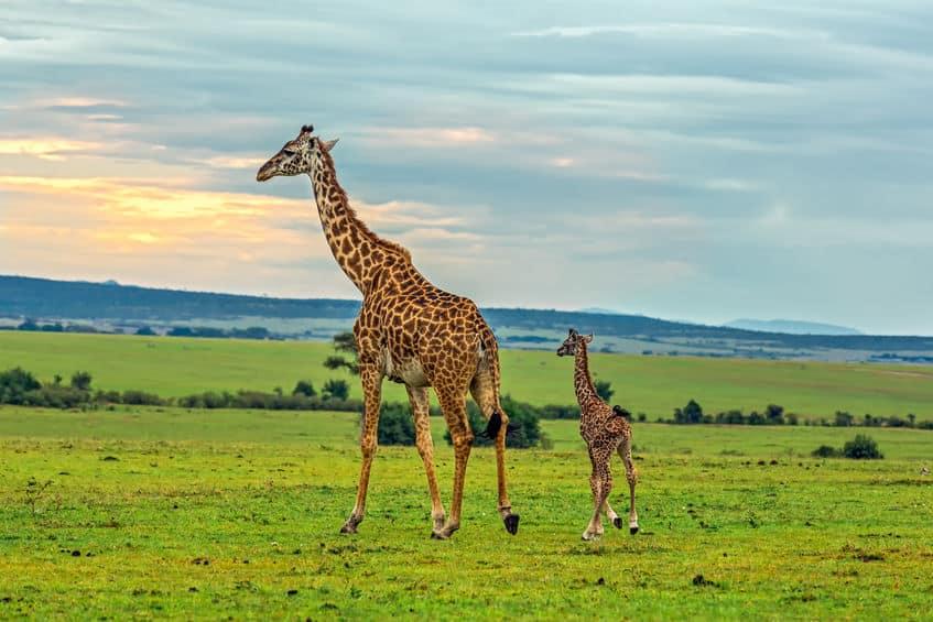 国をダマす大胆さ!キリンを買ってクビになった園長【上野動物園】についてのトリビア