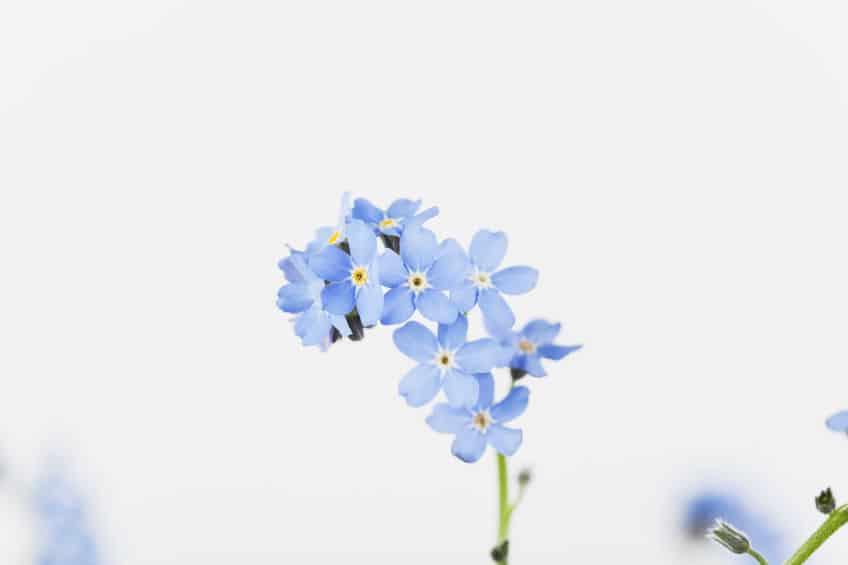 悲恋の物語…勿忘草(ワスレナグサ)の花言葉が切なすぎる…というトリビアまとめ