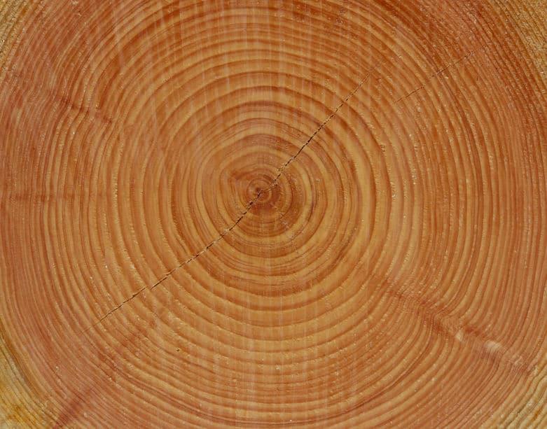年輪の円の中心は木の中心ではないというトリビア