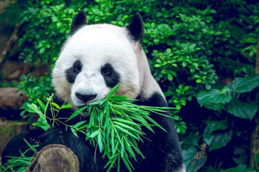 実は…パンダの主食に笹は向いていない…なぜ?についての雑学まとめ