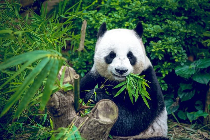 パンダはもともと肉食動物なので、笹を食べるのは向いていないという雑学