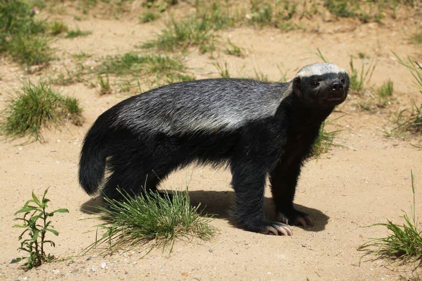 人間より小さいのに単体でホッキョクグマを殺す生物がいるというトリビア