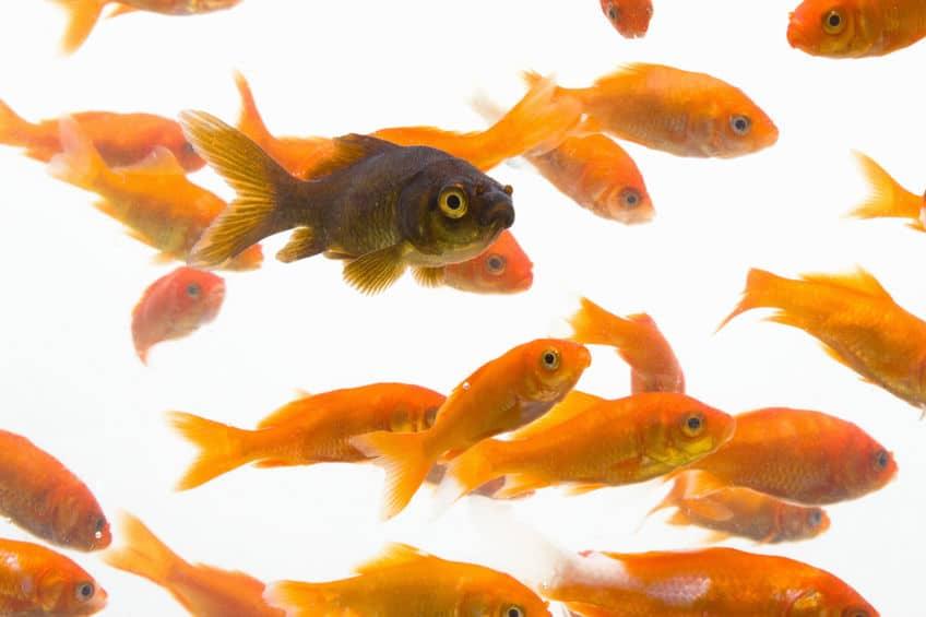 金魚は突然変異を起こしやすいというトリビア