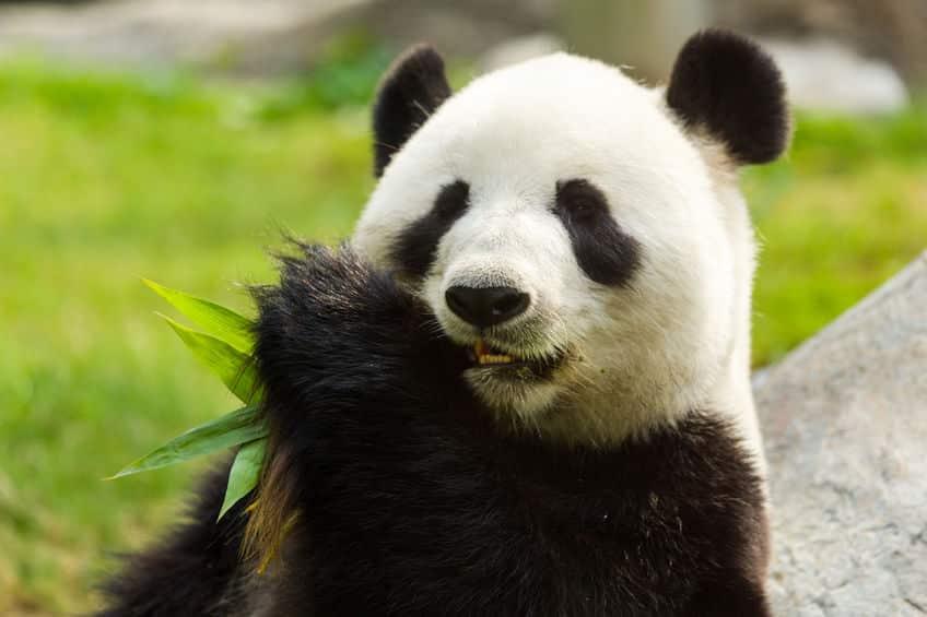 パンダの指は7本あるという雑学