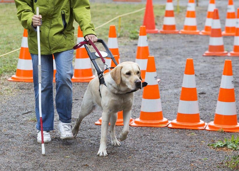 盲導犬のプロ意識がスゴいというトリビア