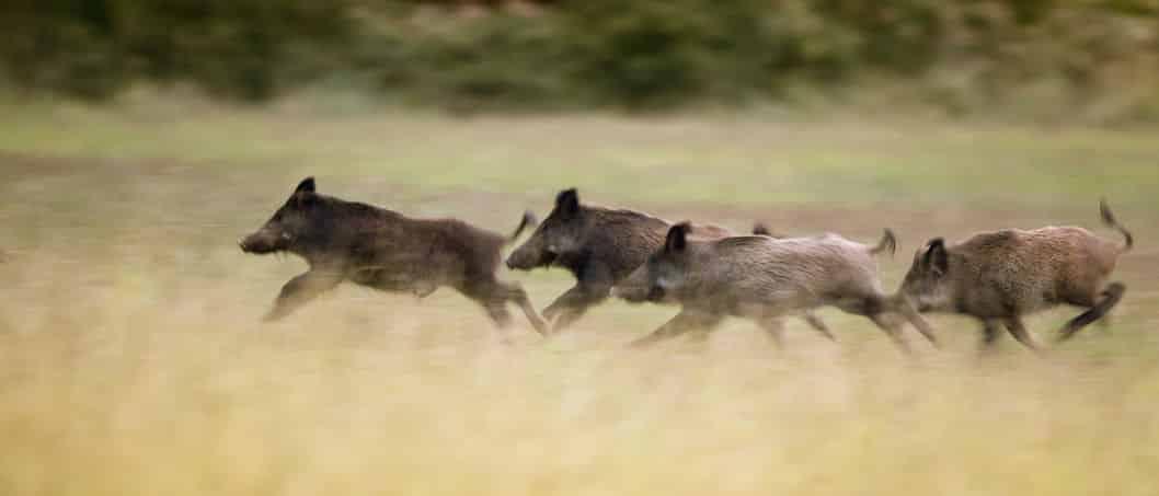 猪突猛進のイメージの源についてのトリビア