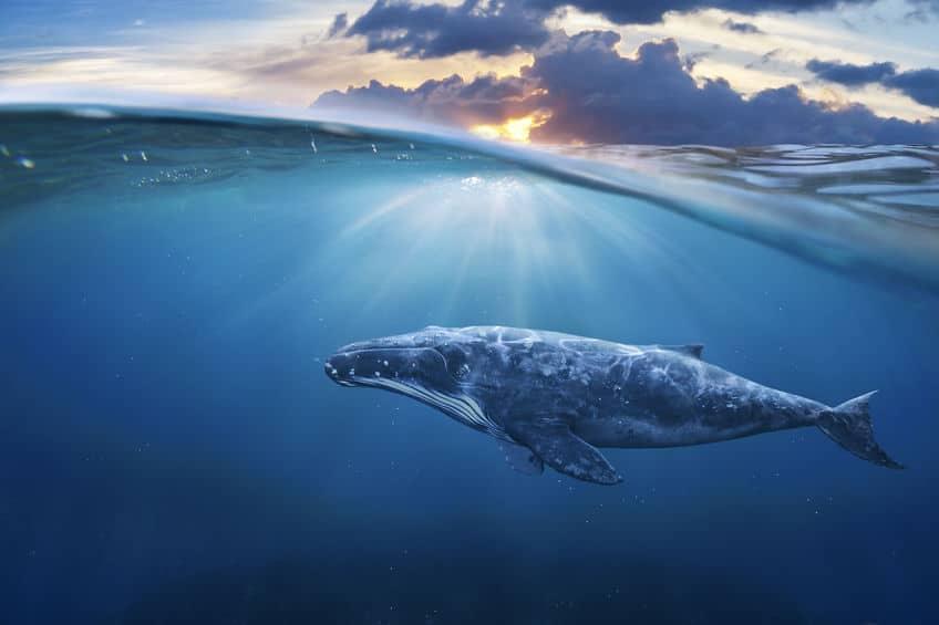 クジラは地上では体温が上昇してしまうというトリビア