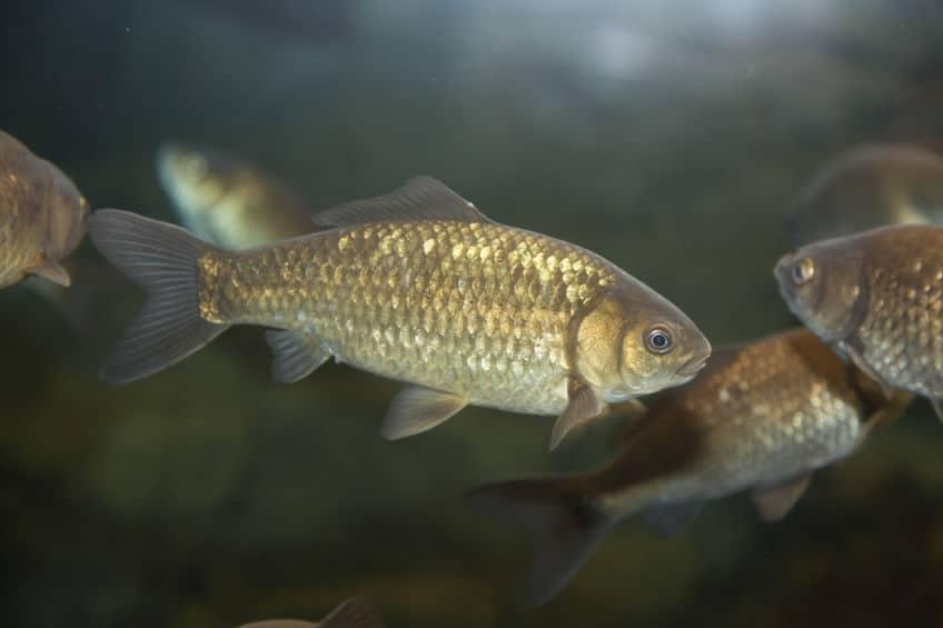 金魚は、色が変わったフナであるというトリビア