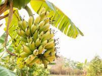 バナナの分類は果物ではなく「草」という雑学