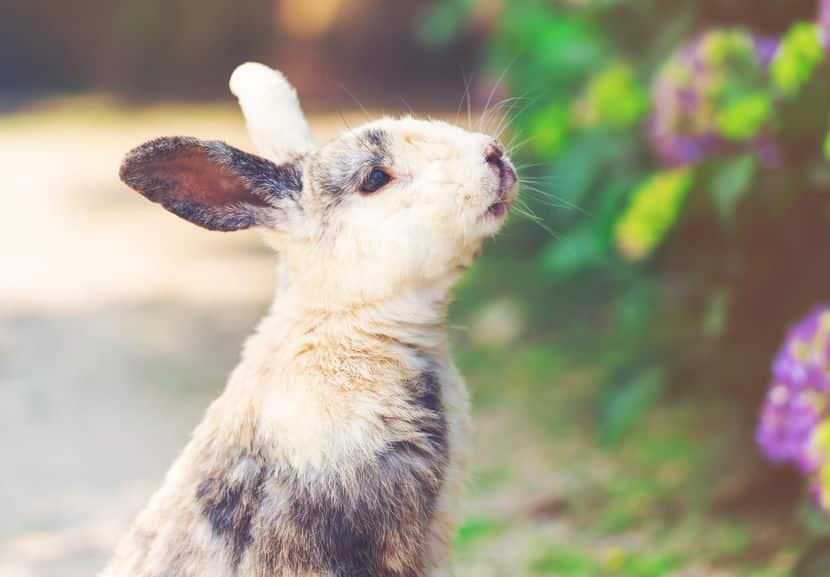 「ウサギは寂しいと死んでしまう」は嘘というトリビア