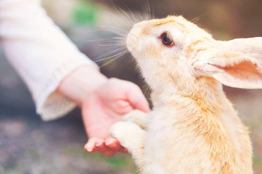 ウサギはポーカーフェイスだが、寂しいという感情があるというトリビア