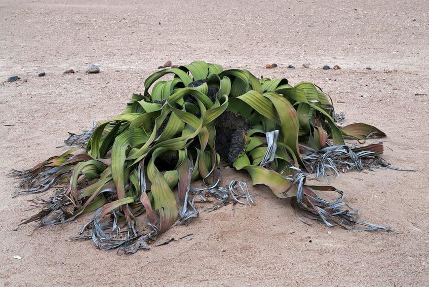 ウェルウィッチアという植物の日本名は「奇想天外」という雑学