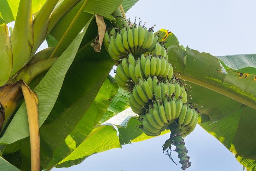 「バナナは草で野菜」という雑学まとめ