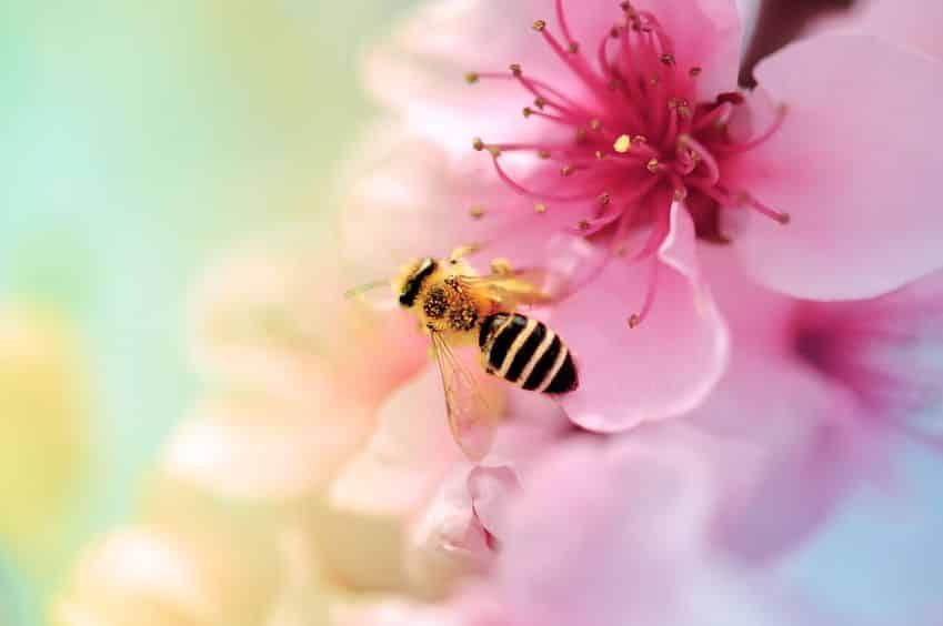 蜜専用の胃がある…!ミツバチが蜜を運ぶ方法とは?【動画あり】についての雑学まとめ