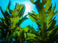 昆布のダシが海の中で出ない理由に関する雑学