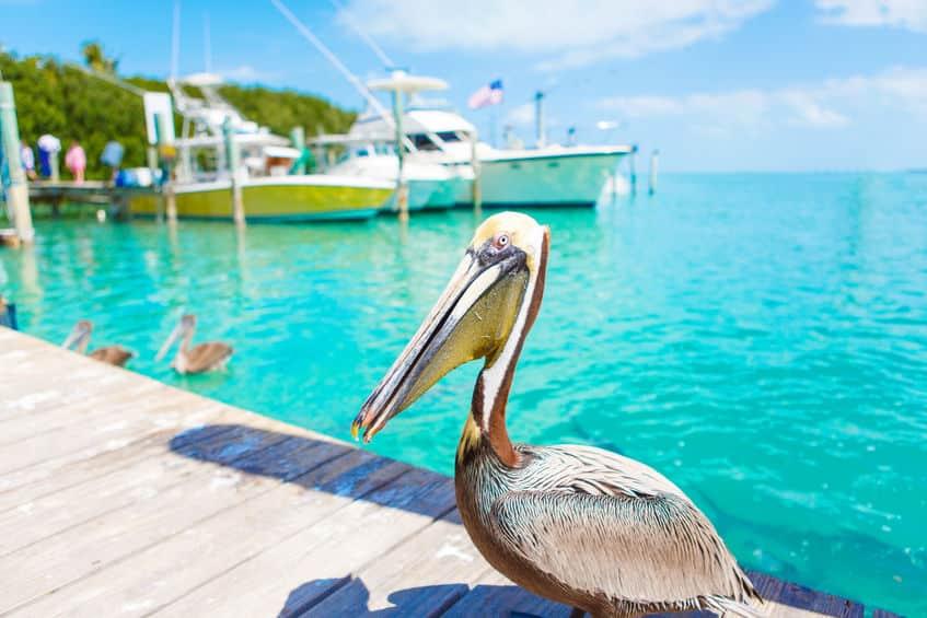ペリカンはなんでも食べる獰猛な鳥という雑学