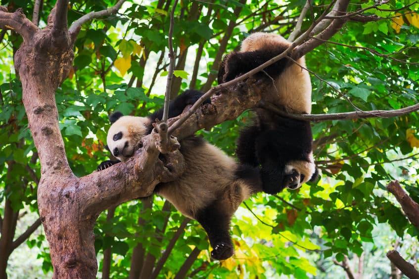 野生のパンダはどこに住んでいるの?というトリビア