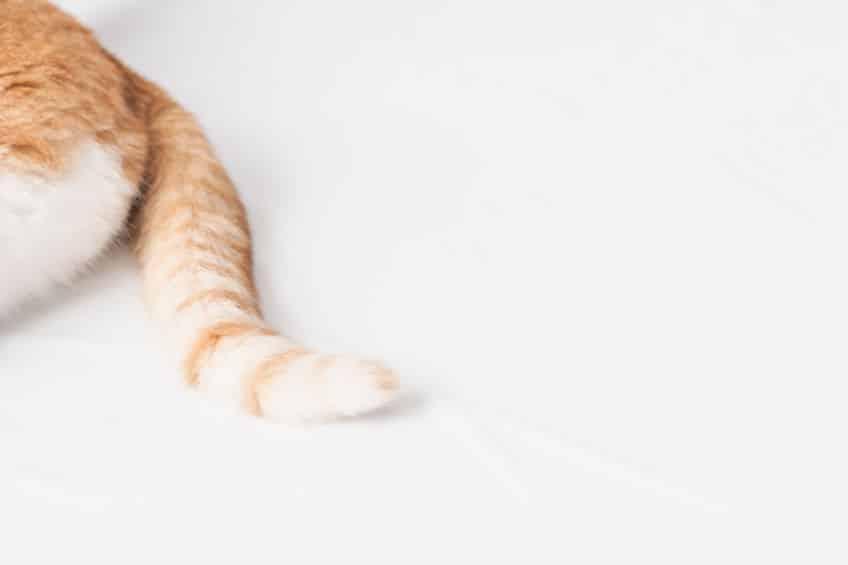 人間と猫の骨の差、約40本はどこにあるかというトリビア