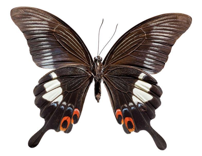 日本の巨大なチョウについてのトリビア