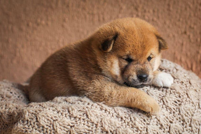 柴犬は、普通に飼える天然記念物なのだというトリビア