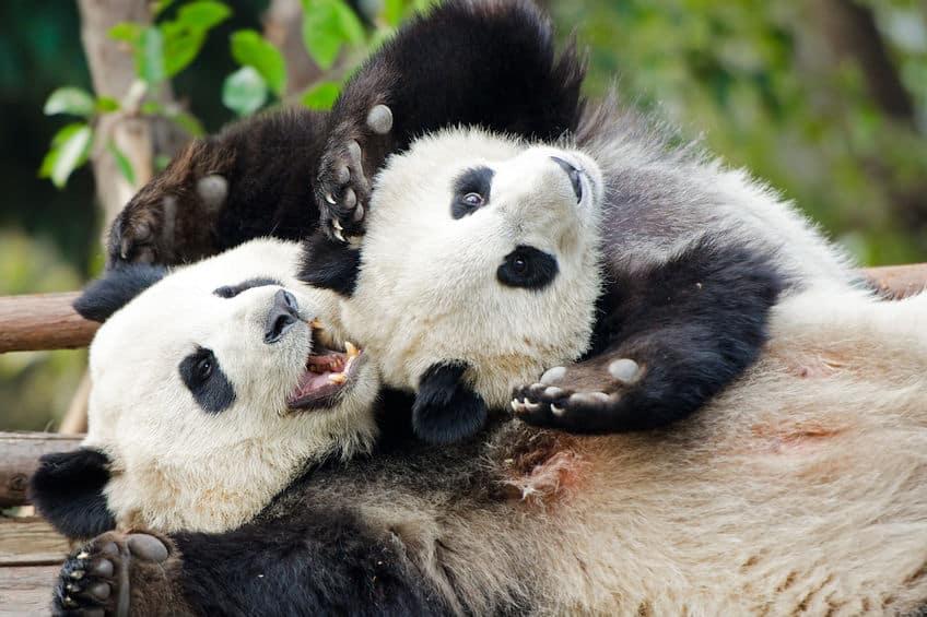 絶滅するぞ!パンダは双子を産むと1頭しか育てない…【動画あり】についての雑学まとめ