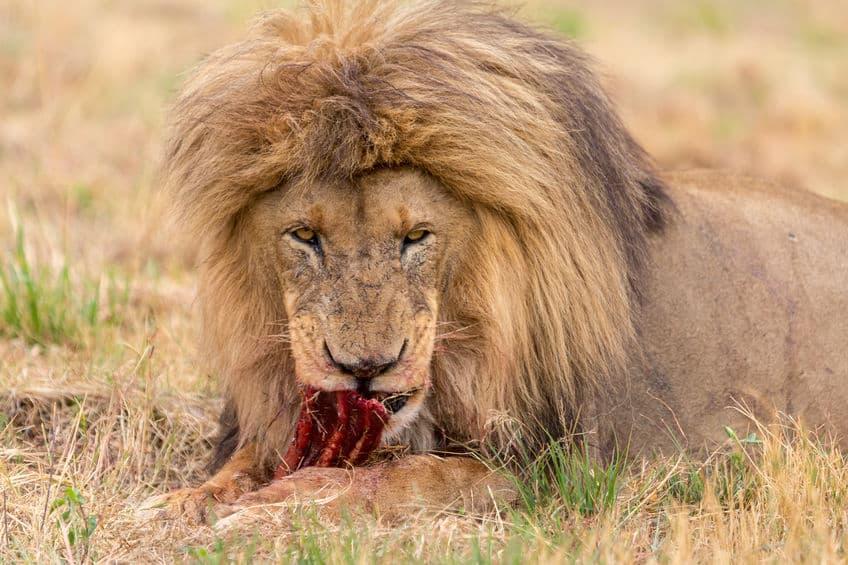 実は草食動物も肉を食べます。肉食動物との違いについての雑学まとめ