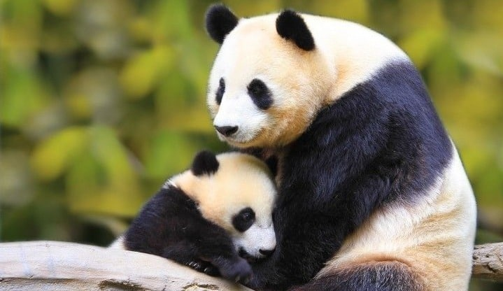 1頭しか育てないパンダに2頭育てさせるにはどうするか?というトリビア