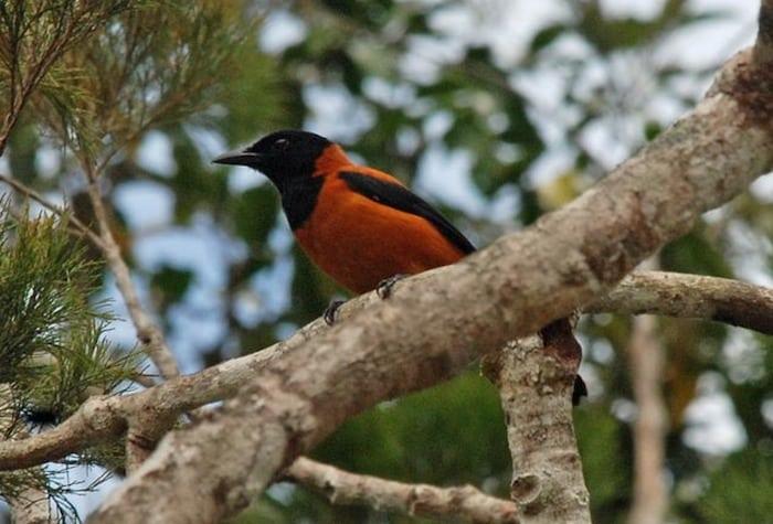 ピトフーイという鳥は毒で人間を殺すことができるという雑学