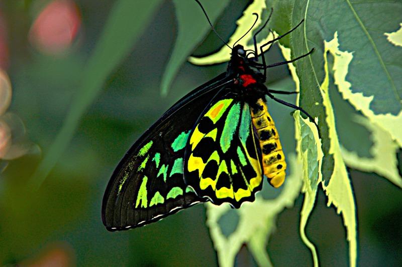 サイズだけじゃない!貴重で美しいチョウ「アレクサンドラトリバネアゲハ」についてのトリビア
