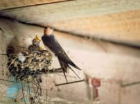 ツバメが人の家に巣を作る理由に関する雑学