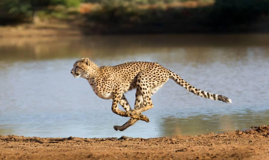 野生でのチーターの立ち位置についてのトリビア