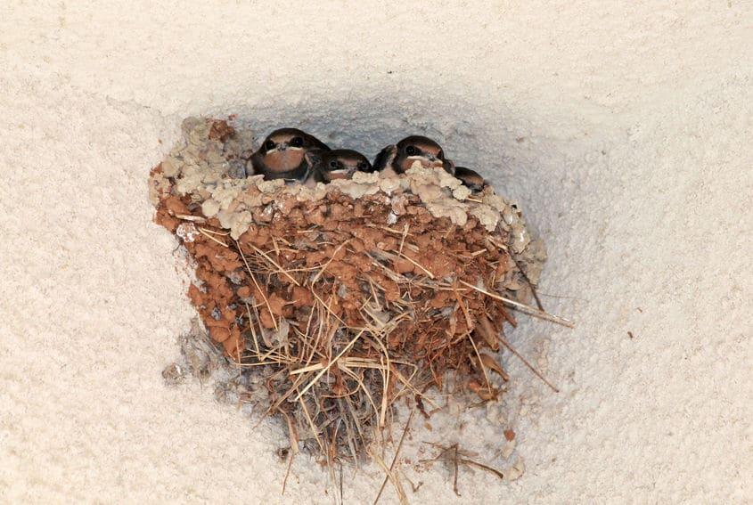 ツバメの巣ができると良いとされる理由についてのトリビア