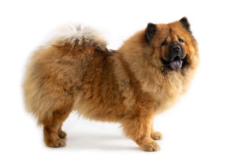 チャウチャウには食用犬として品種改良されたという説があるというトリビア