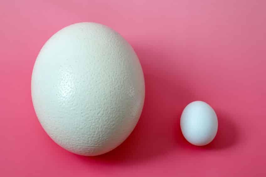 ダチョウは卵も最大というトリビア