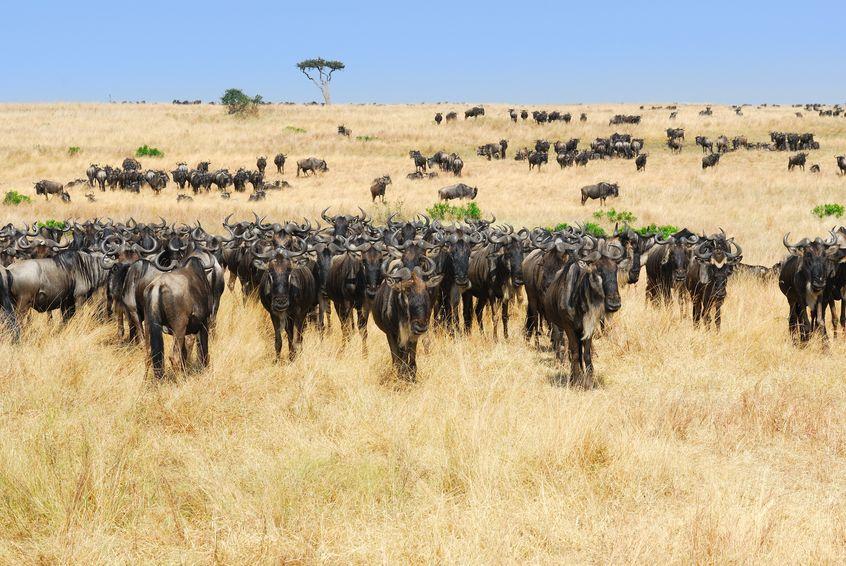 ヌーが大移動するのは本能ではなく文化であるというトリビア