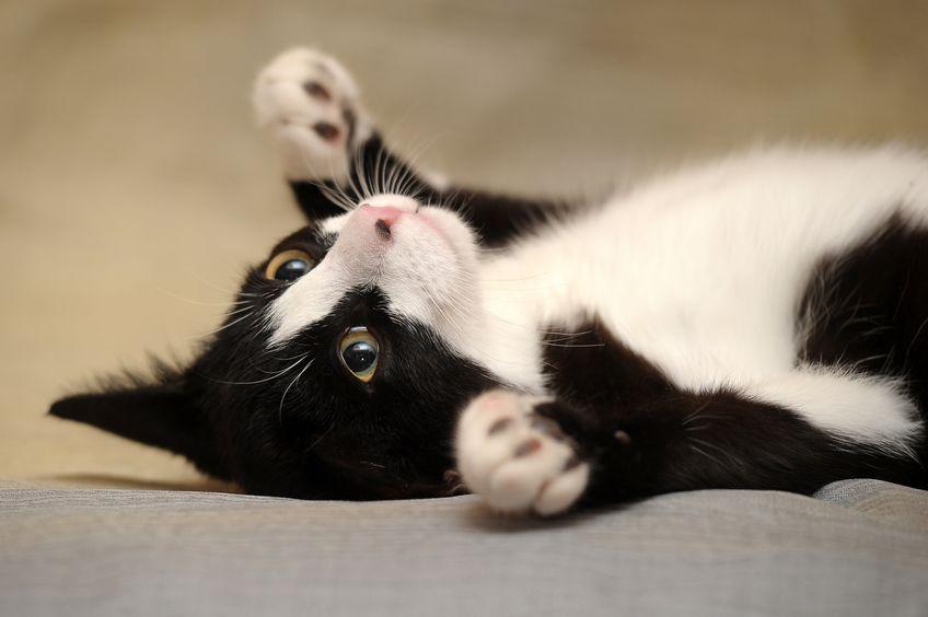 汗で体温を下げることのできないネコについてのトリビア