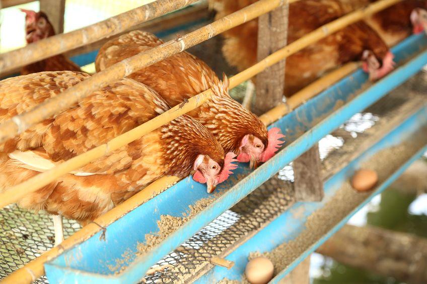 ニワトリが卵を作るには約25時間必要!というトリビア