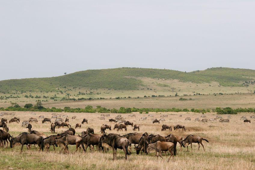 ヌーは餌や水を求めて大集団で3000キロを移動するというトリビア