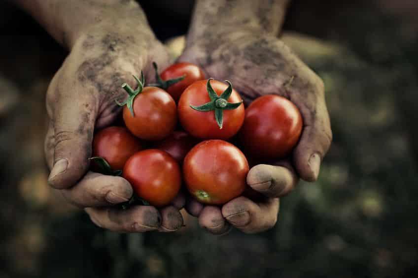 トマトは野菜?いえいえ食虫植物です。実は虫を養分にしていた!という雑学まとめ