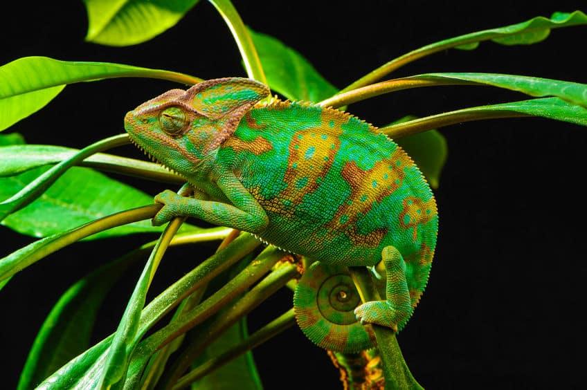 「カメレオン」の色の変え方についてのトリビア