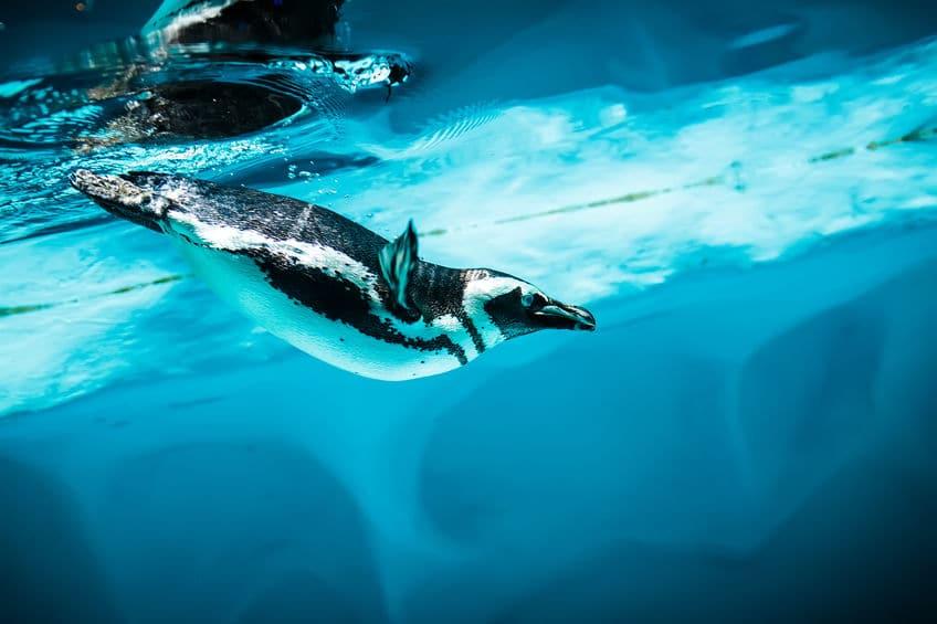 ペンギンが海の中を「飛ぶ」!についてのトリビア